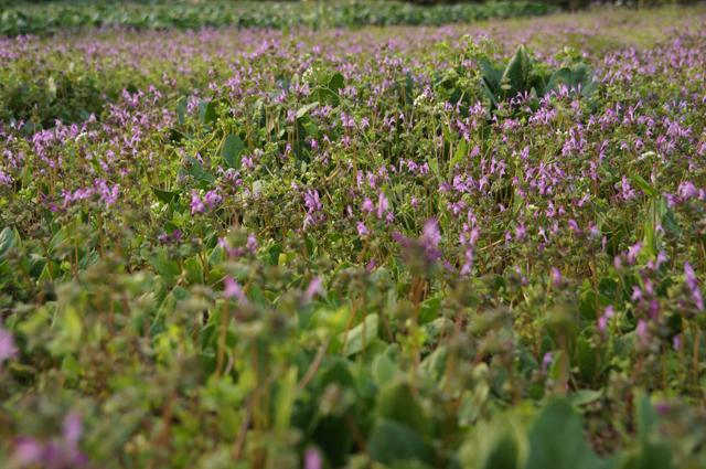 菜っ葉を採り終った後の畑に咲いた紫の雑草