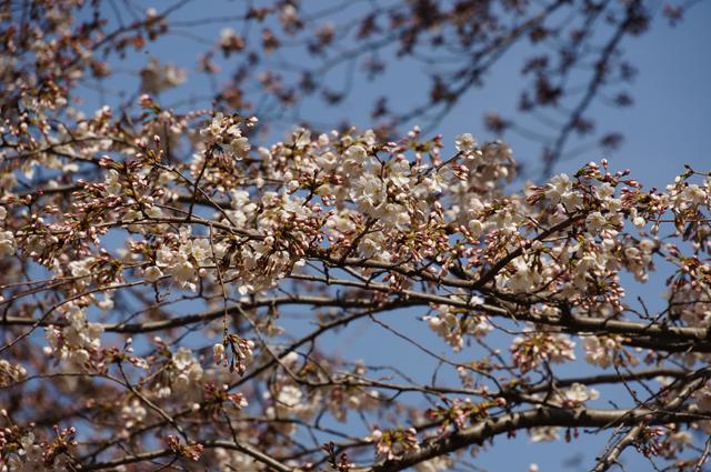 咲いた桜、'15 公園にて