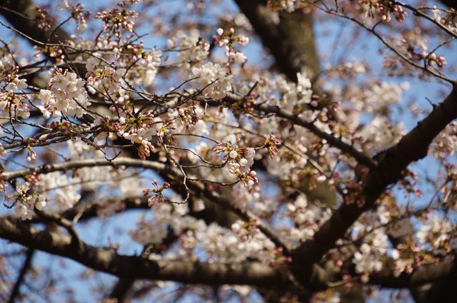 咲いた桜'15 公園にて