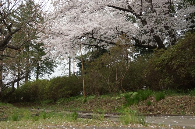 八王子レイアウトの桜