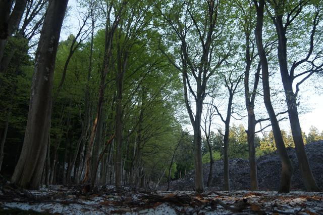 残雪とブナ林