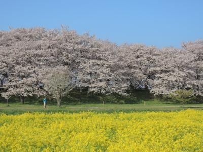 幸手市権現堂桜堤20150402