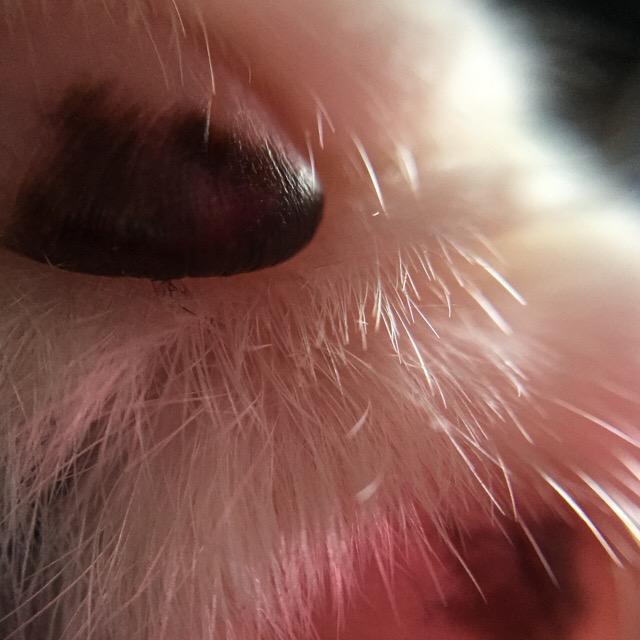 マクロレンズで猫さんを撮影