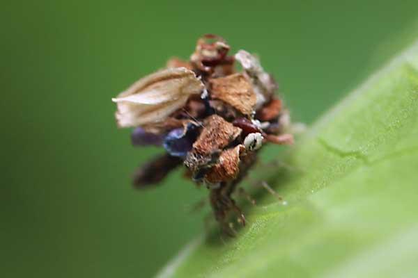 クサカゲロウの幼虫2