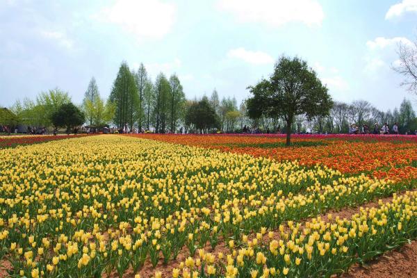 チューリップ 世羅高原農場