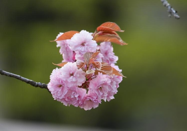 八重桜1150501