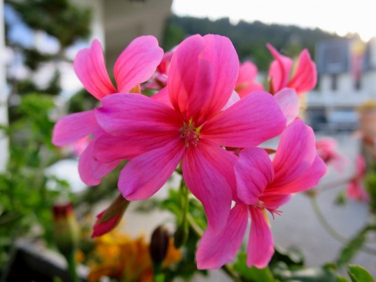 リギの花15150625