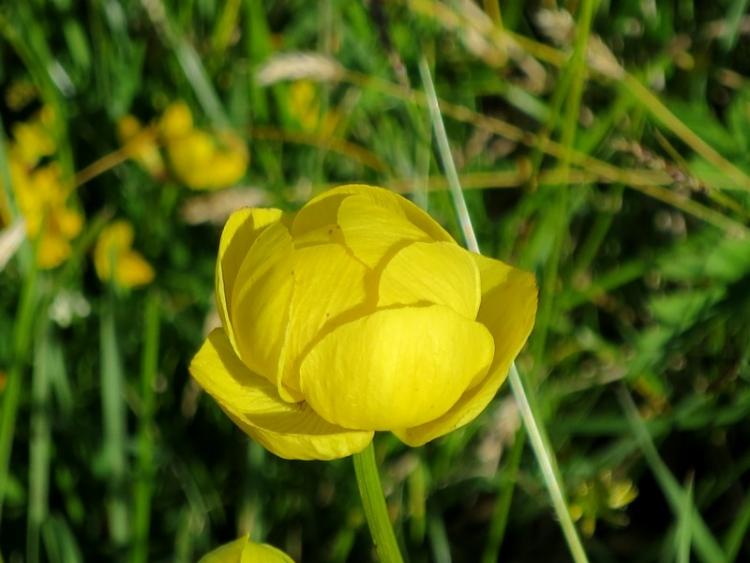 リギの花19150625
