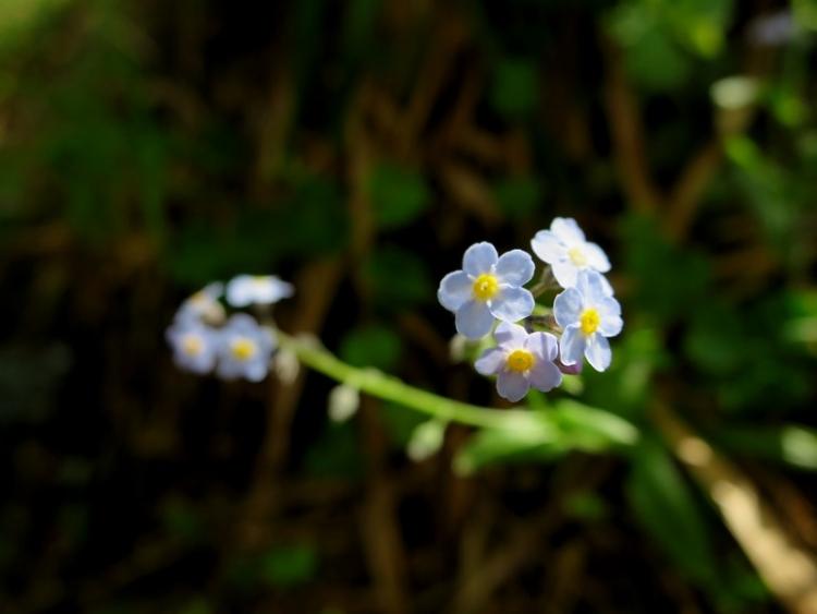 リギの花17150625