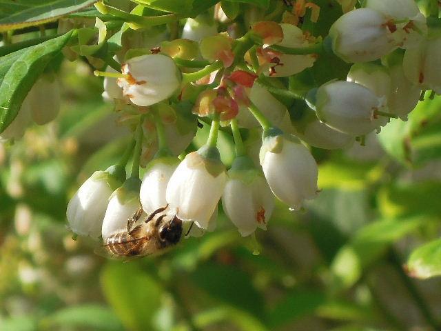 ミツバチの仲間?