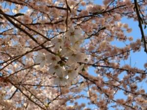 4月常盤平の桜