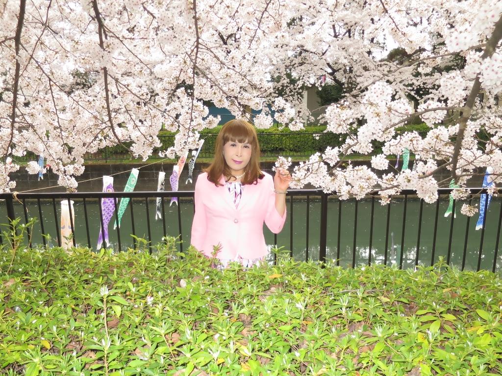 ピンクスーツ桜(3)