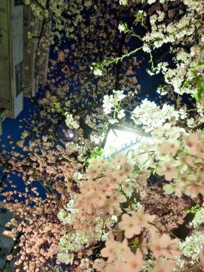 見上げても桜 桜 桜