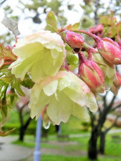 2015八重桜  1_