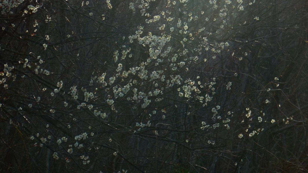 DSCN0551-20150321雑木林の梅