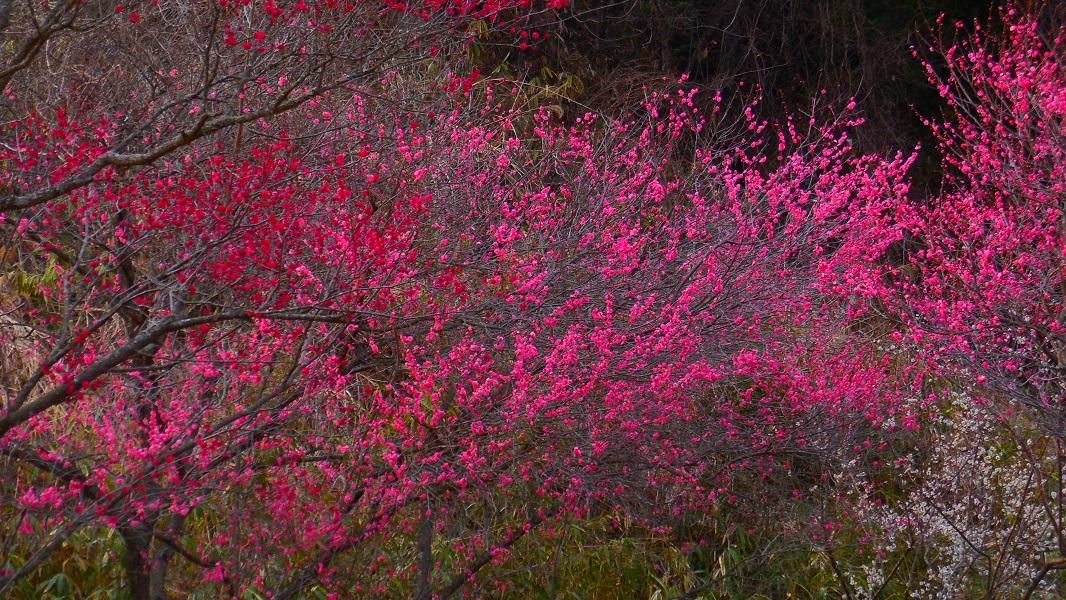 花の色DSCN0519-20150322梅林