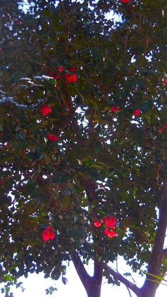 DSCN0735-椿の木