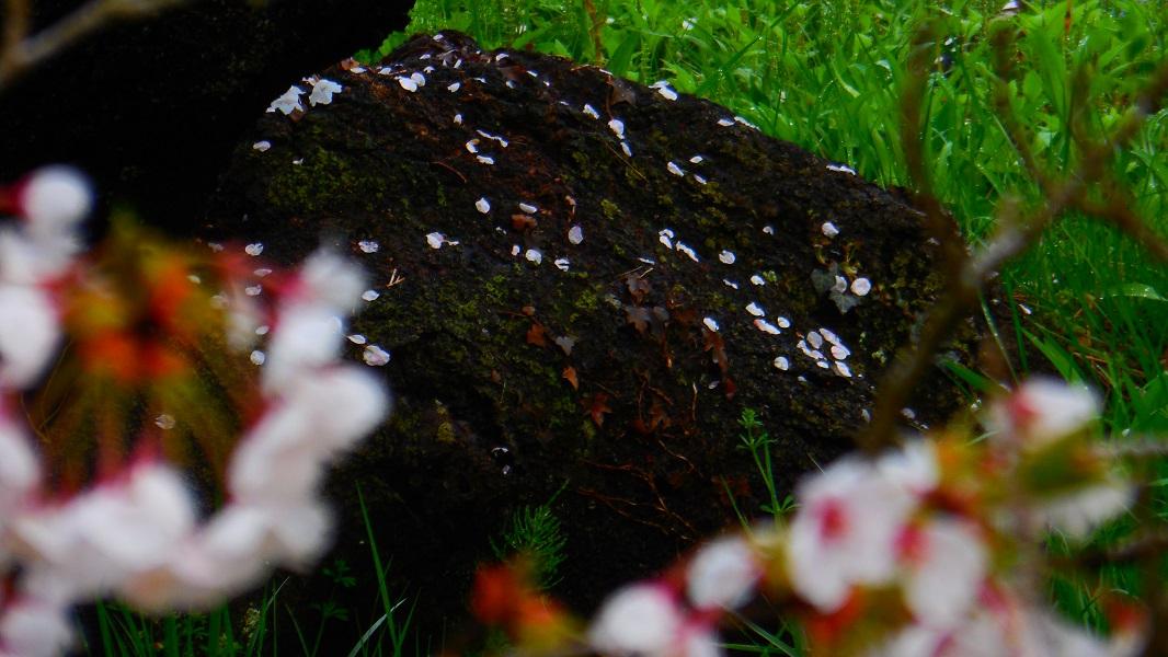 DSCN0898-名残の花弁