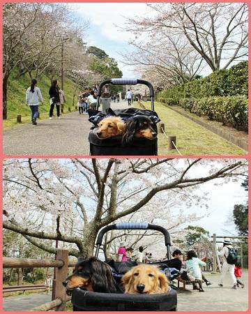 H27032802里見桜まつり