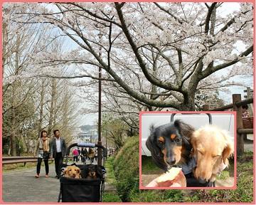H27032808里見桜まつり