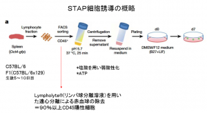 Outline of STAP cell induction