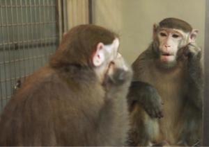 Macaca mulatta mirror