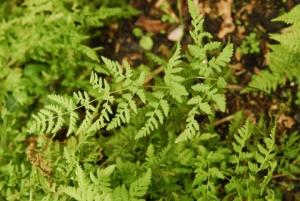 Gymnocarpium dryopteris × Cystopteris fragilis