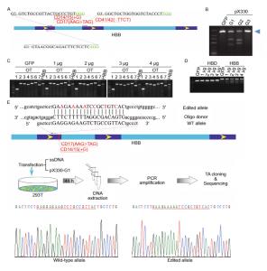 Genome editing CRISPRCas9 HBB