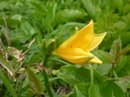 白山の花2