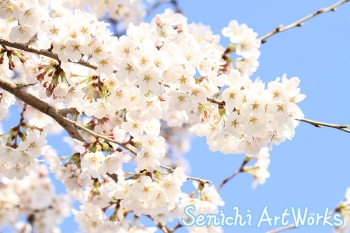 05-近所の桜