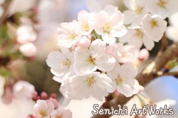 02-近所の桜