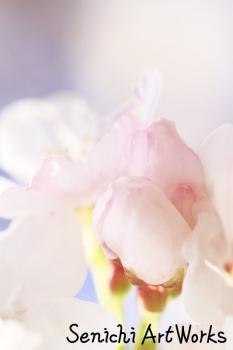 03-近所の桜