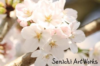 04-近所の桜