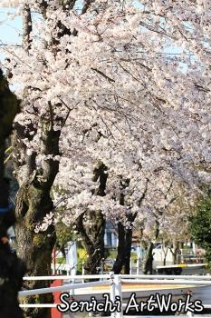 06-近所の桜