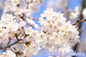07-近所の桜