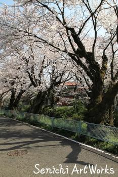 04関市・関川の桜並木