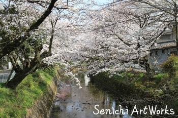 05関市・関川の桜並木