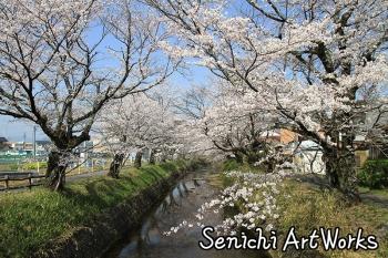 01関市・関川の桜並木