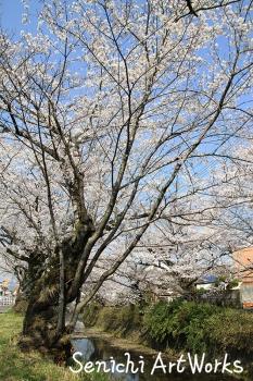 02関市・関川の桜並木