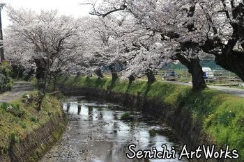 03関市・関川の桜並木