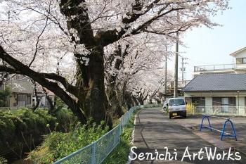 07関市・関川の桜並木