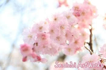 06関市・関川の桜並木