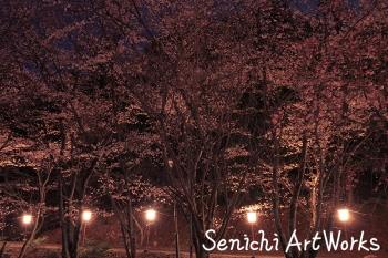 2015夜桜03