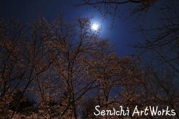 2015夜桜01