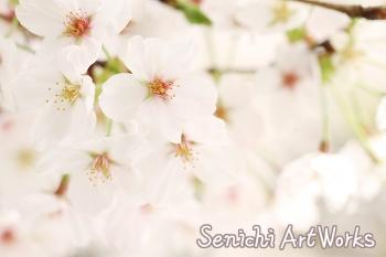 柔らかな桜