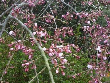 堀池のしだれ桜2