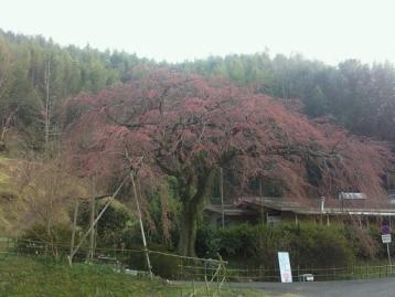 堀池のしだれ桜1