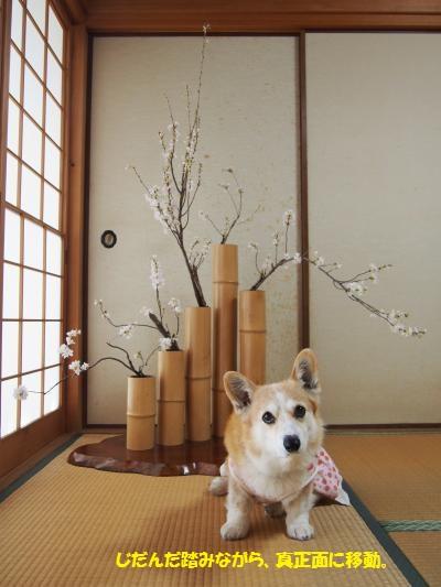 桜、五管2