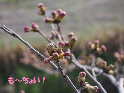 桜も~ちょいっ