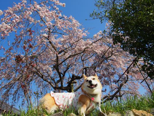 かっちょいぃ節ちゃん 桜の下で